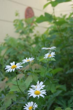 sun s: Daisy s in giardino con il sole faccia deco della parete