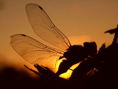 the setting sun: Profile of a dragonfly outlined by the setting sun