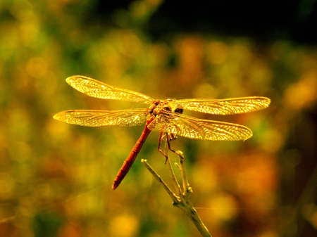 zygoptera: Red dragonfly coming in for a landing on a summer weed Stock Photo
