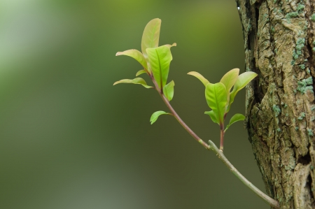 live again: Delicate Young Leaves and Bud sprouting on a Lichen-covered Tree Trunk