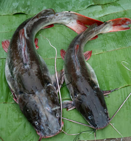 Asian cat fish on the green leaf Stock Photo
