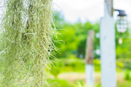 The Spanish Moss curtians green background