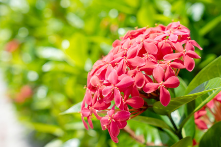 Red Spike Flower or Ixora in day light Stock fotó