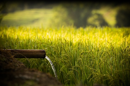 Water and Rice is importance For Life Terraced Paddy Field in Mae-Jam Village , Chaingmai Province , Thailand photo
