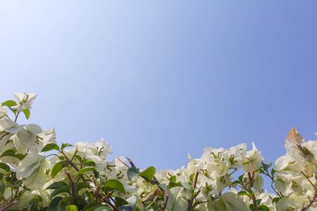 bougainvillea: Flower (bougainvillea) with blue sky.