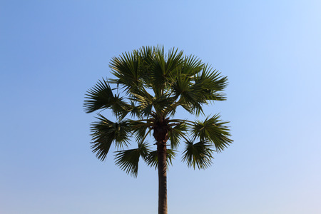sugar palm: Sugar palm tree