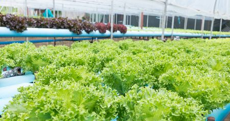 hydroponic: Hydroponic vegetable planting