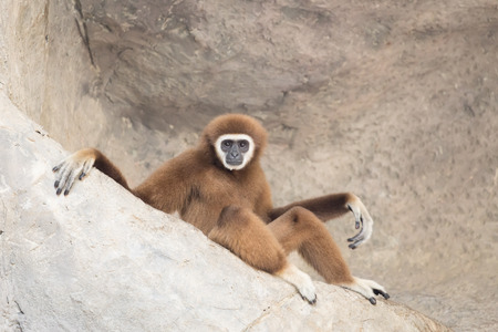 handed gibbon: White hand gibbon sitting on the rock. Stock Photo