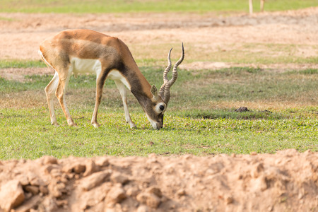 black tail deer: Blackbuck eating grass on the ground.