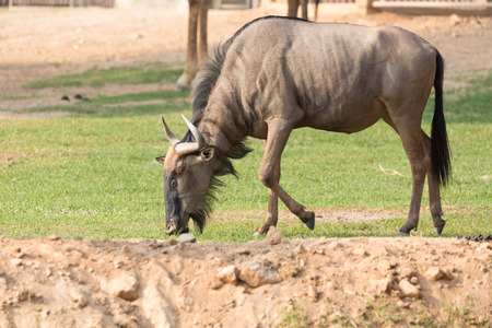 wildebeest: Wildebeest eating grass on the ground.
