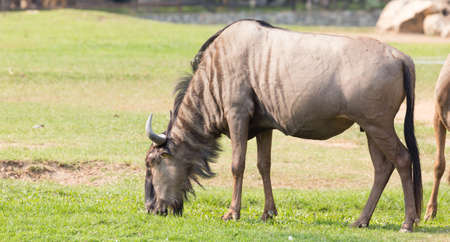 wildebeest: Wildebeest eating grass.