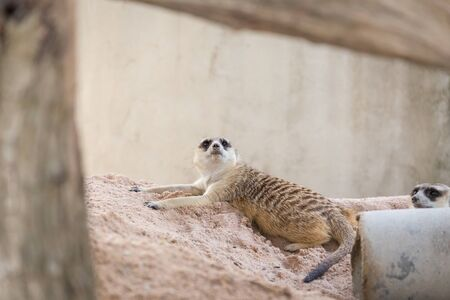 lie: Meerkat lie down on the ground. Stock Photo