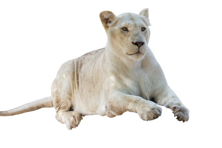 White lion on isolated background.
