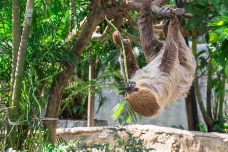 sloth: Sloth hang on the tree and eating cowpea. Stock Photo