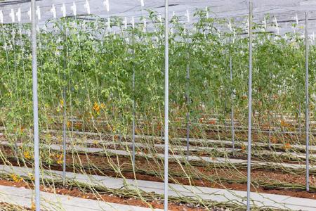 barossa: Potato creeper plant on organic farming. Stock Photo
