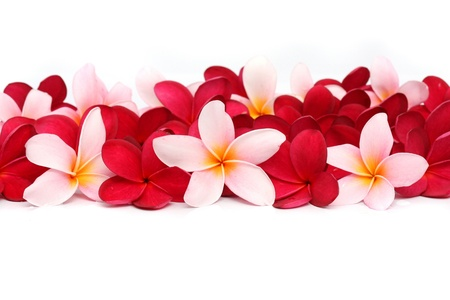 Pink and red Frangipani Plumeria flower photo