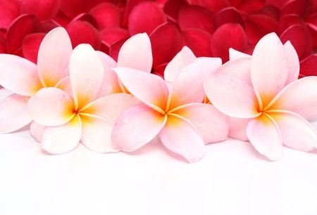 Pink and red Frangipani Plumeria flower