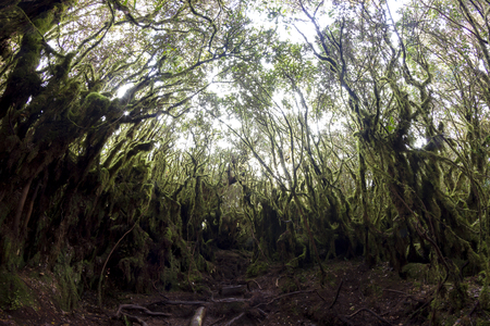 pahang: Mystical and beautiful famous green Mossy Forest in Cameron Highland in its original ambient lighting.