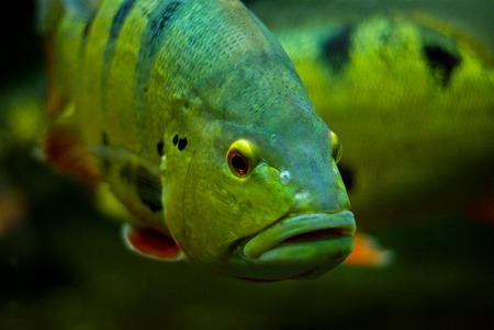 ojos negros: Peces con ojos negros Foto de archivo