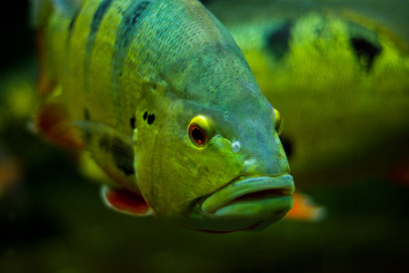 black eyes: Pesce con occhi neri