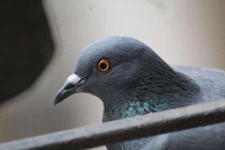 closeup of pigeon bird brown beautiful bird