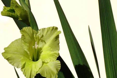 stamens: Watsonia flower with stamens