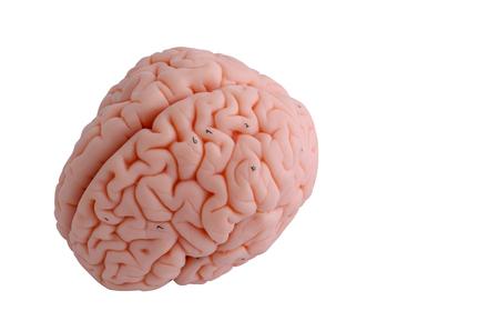 sulcus: Human brain anatomy model on white background Stock Photo