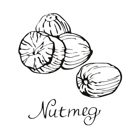 nutmeg: Nutmeg illustration