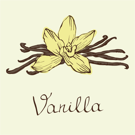 Vanilla beautiful flowers and beans, vector. Hand drawn sketches vector illustration on white background in vintage style. Çizim