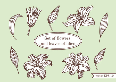 lillies: Set of lilies isolated on green background. Hand drawn vector illustration.Flower set: highly detailed hand drawn of Lily flowers.