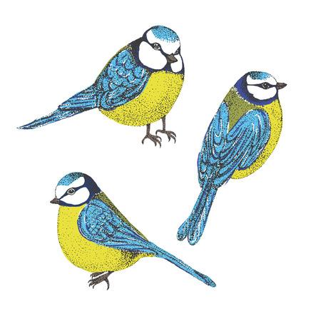tetas: Multitud de las tetas azules aislados sobre fondo blanco. Juego de las aves. Vectores
