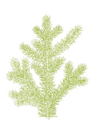 spruce: spruce branch. Hand drawing. Botanical illustration of fir