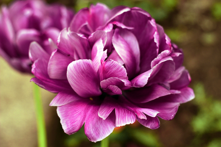 Peony purple tulip on a green background. Tulip with streaks on leaves. Stock Photo