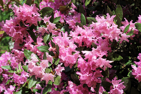 flores fucsia: Flowering branch of rhododendron in the spring garden. Pink azalea flower. Rose bush in sunlight.