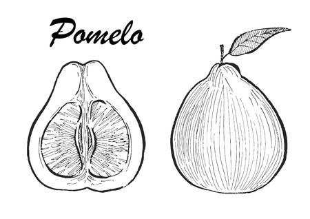 Hand drawn illustration of pomelo. Vector illustration with sketch fruit.