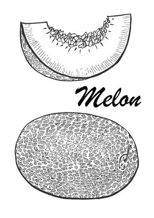Hand drawn illustration of melon. Botanical food illustration vector illustration with sketch fruit. Stock Vector - 97618673