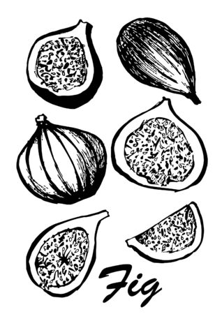 Fruit of fig tree isolated on white background. Vegetarian food. Botanical food illustration. illustration with sketch fruit. Black and white. Stock fotó
