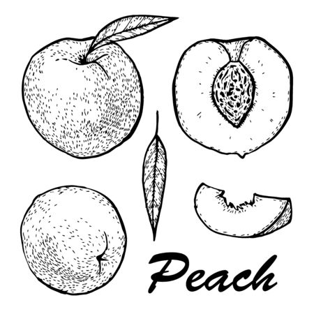 Manual drawing of peach ink. Set whole peach and slices. Botanical food illustration. illustration with sketch fruit 写真素材