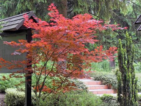 acer: Red acer in Slovenias arboretum Mozirski gaj Stock Photo