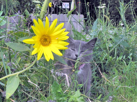 likeable: Likeable silver cat is watching a sunflowers bloom. Stock Photo