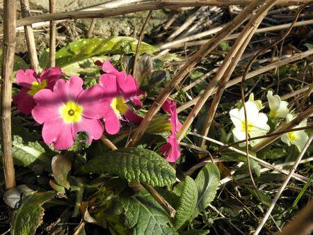 messengers: Primroses,messengers of springtime