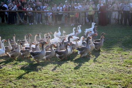 spectacle: Koprivnicas Renaissance Festival 2015., historical mega spectacle, Koprivnicas city walls, Croatia. Fantastic geese show.