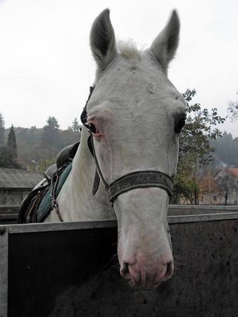 melancholy: Melancholy white horse, celebration of St. Martins Day, Kutjevo, Croatia