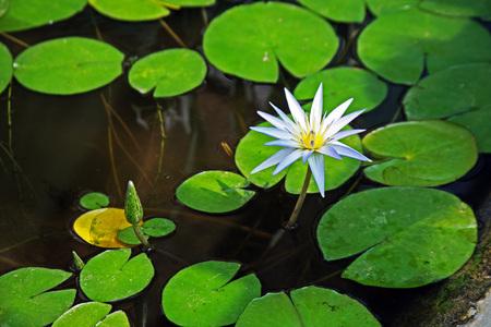 nenuphar: Botanical garden,nenuphar,Zagreb,7,Croatia,EU,2016. Stock Photo