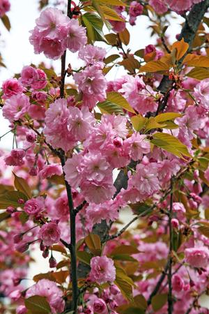 Early spring plants in Botanical Garden,Zagreb,Croatia,Europe,Prunus serrulata 'Kanzan' Stock Photo