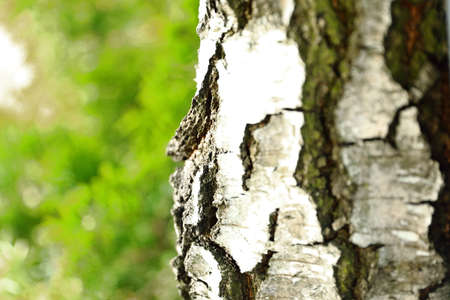 Beautiful structure of birch bark growing on the edge of the forest Zdjęcie Seryjne