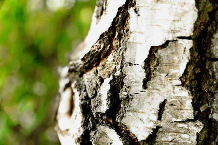 Beautiful structure of birch bark growing on the edge of the forest