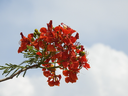 Top stem flowers, Royal Poinciana, Flamboyant, Flame Tree, Delonix Regia. It grown tropical parts of world as a ornamental tree. It also known as Flame tree.