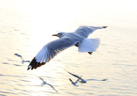 over the sea: Seagull fly over Sea  Sunset