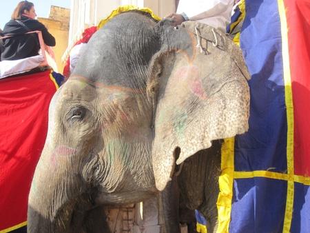 amber fort: Elephant at Amber Fort Jaipur